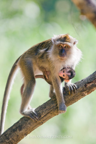 Long-tailed macaque - a monkey