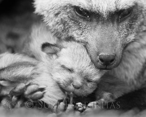 mom and baby fox black and white