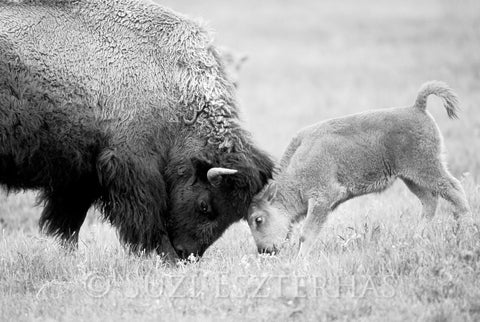 mom and baby bison black and white