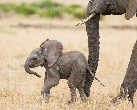 Baby elephant - color photo