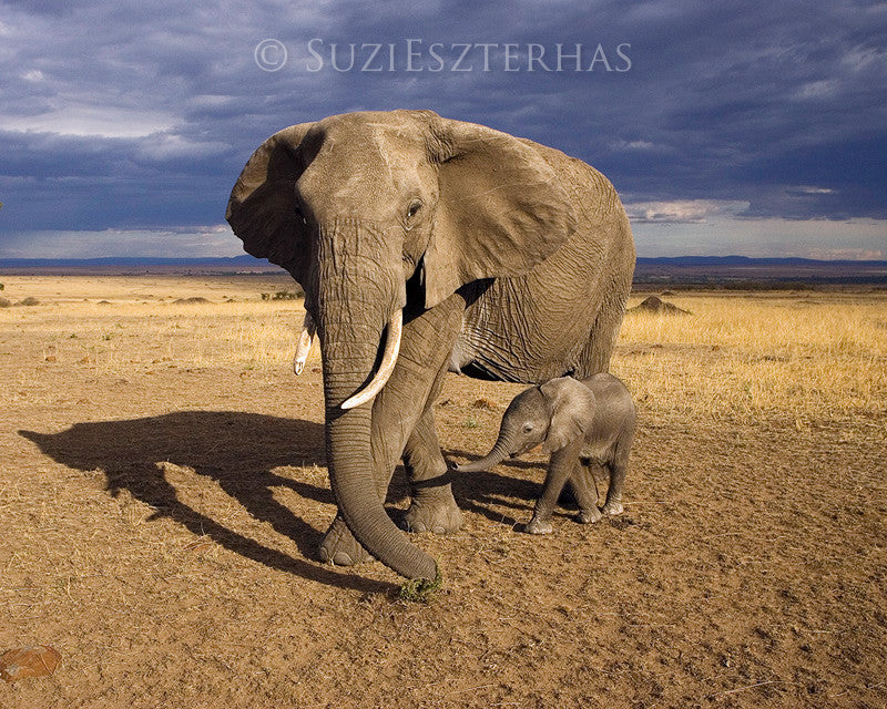Baby elephant with mother - color photograph