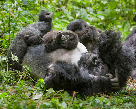 Baby gorilla playing with dad - color photo