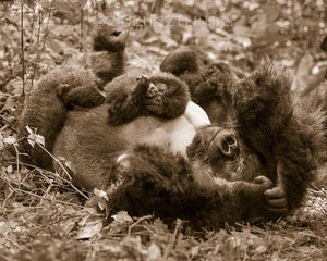 Baby Gorilla Playing with Dad Photo