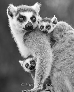 Baby Ring-Tailed Lemurs Photo