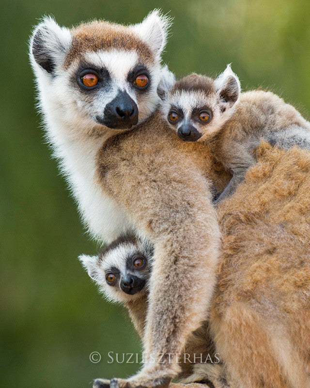 Baby Ring Tailed Lemurs with mom