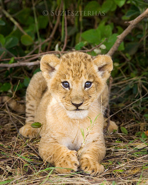Baby lion cub - color photo