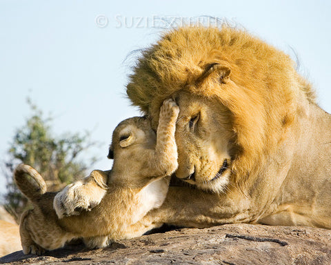 Baby lion and dad playing - color photo