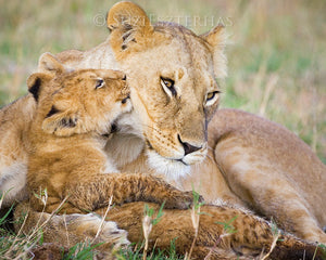 Baby lion kissing mom