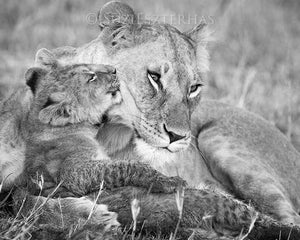 Baby Lion Kissing Mom Photo