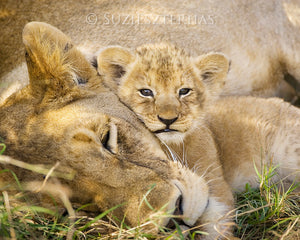 Baby lion snuggling mom - color photo