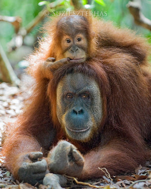 Baby orangutan on Mom's Head