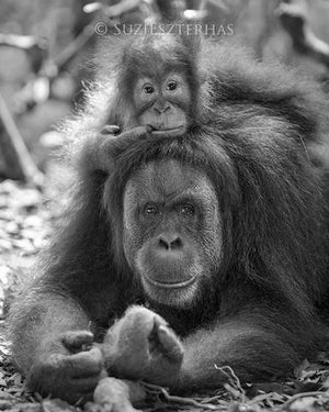 Baby Orangutan on Mom's Head Photo