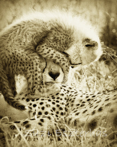 cheetah cub jumping on mothers head in sepia