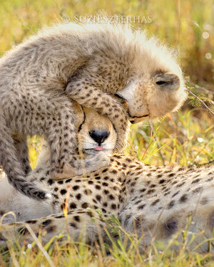 cheetah cub jumping on moms head photo in color