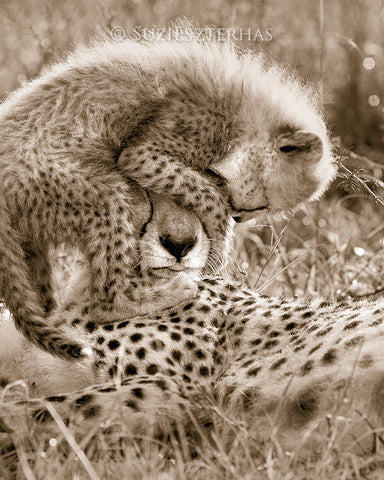 baby cheetah and mom photo sepia