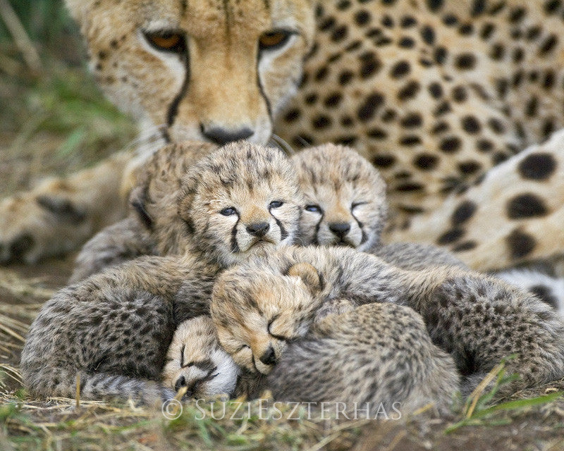 mom and newborn cheetahs photo