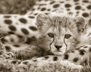 cute baby cheetah photo sepia