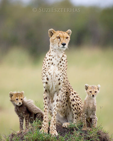 cheetah mom and two cubs photo