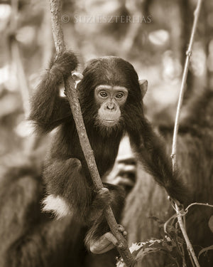 baby chimpanzee photo sepia