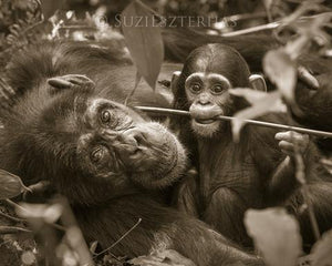 Mom and Baby Chimp Playing Photo