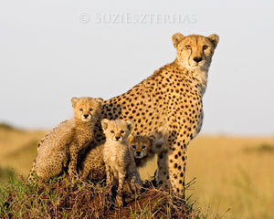 Cheetah Family Portrait in Color
