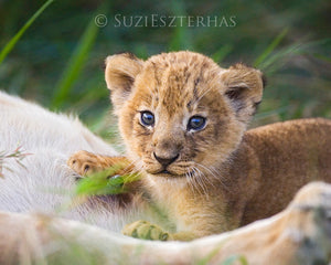 Curious Baby Lion - color photo
