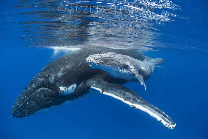 Cute Baby Whale and Mom