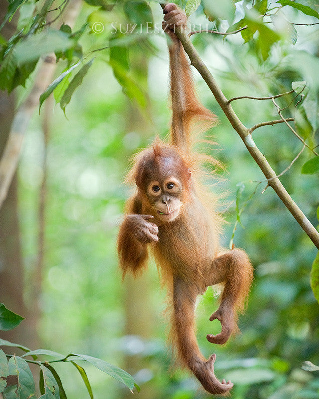 Cute baby orangutan hanging in a tree