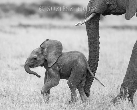 baby elephant photo black and white