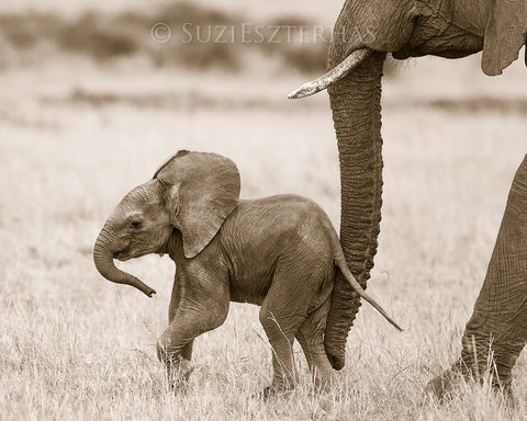 baby elephant photo sepia