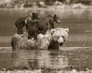 Mom and Baby Bears in Water Photo