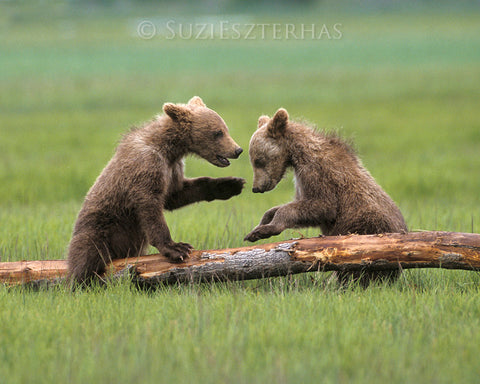 baby bears playing photo