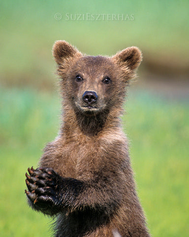 baby grizzly bear photo