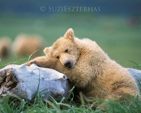 sleepy bear photo