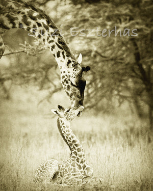 mother giraffe nuzzling baby in sepia