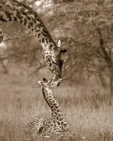 mom and baby giraffe photo sepia
