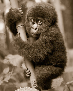 cute baby gorilla photo sepia