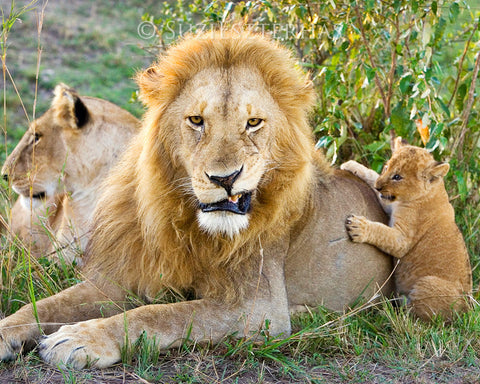 Grumpy lion dad with cub