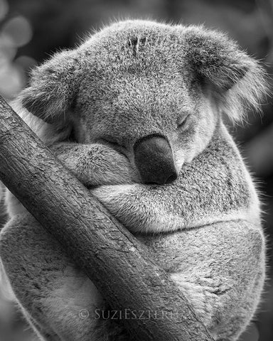 cute koala sleeping photo black and white