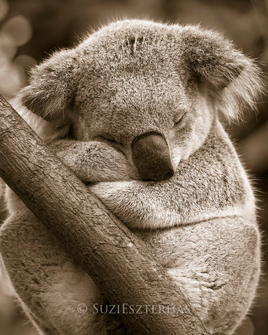 cute koala sleeping photo sepia
