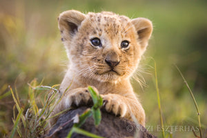 King of the Jungle Lion Cub Photo