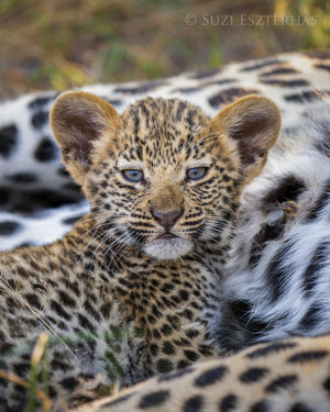 Sweet Baby Leopard Photo