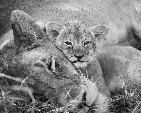 baby lion snuggling mom photo black and white