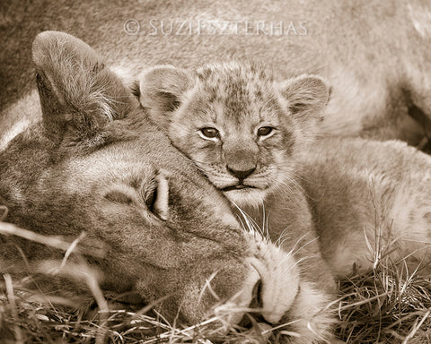 baby lion snuggling mom photo sepia