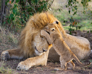 Baby Lion Jumping on Dad Photo