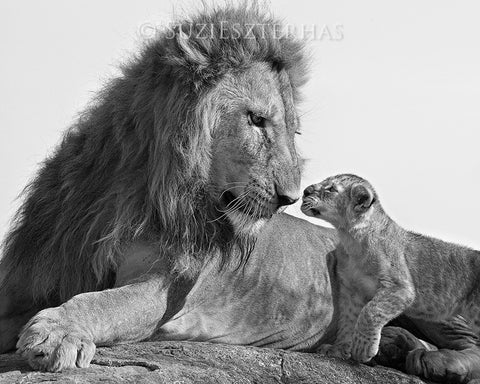 baby lion and dad photo black and white