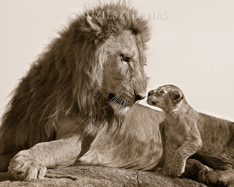 baby lion and dad photo sepia