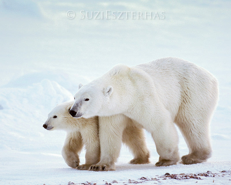 Mom and baby polar bear photo