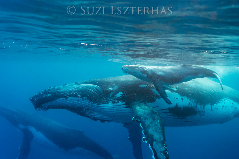 Mother and Newborn Whale Photo