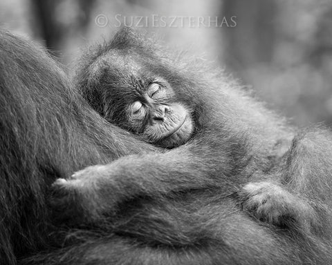 sleepy baby orangutan photo black and white